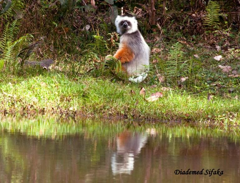Madagascar-Ann_Kugel-Diademed-L_edited-1-saadj
