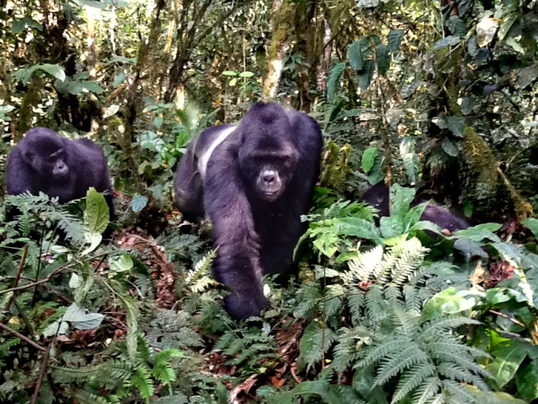 mountain-gorilla-Vic-Schacter-saadj