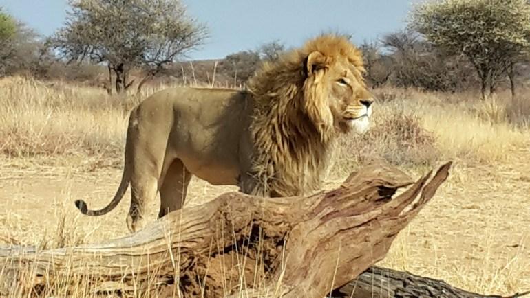 Ultimate-Safaris-Desert-Lion20150910_091152_sm