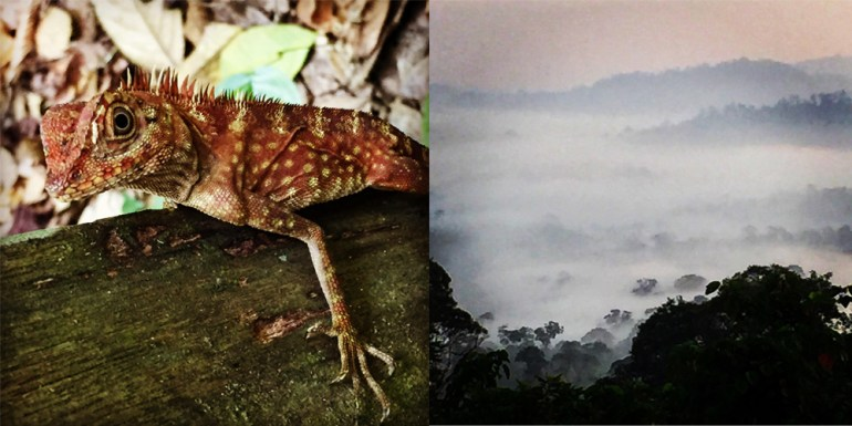 agamid-lizard-morning-mist