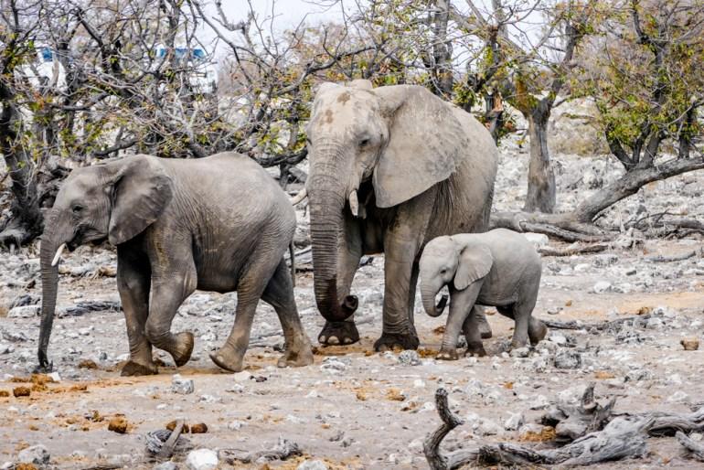 Elephant---Etosha-34