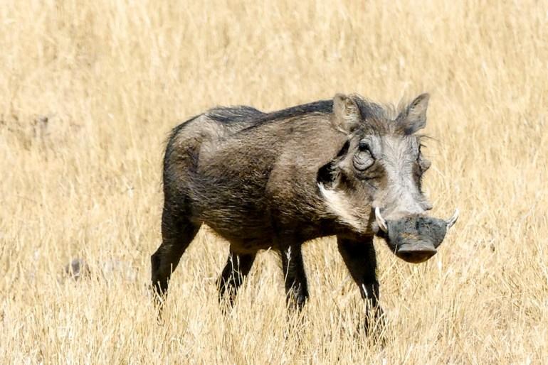 Randy-Roig-pax-ok-Warthog---Africat-1