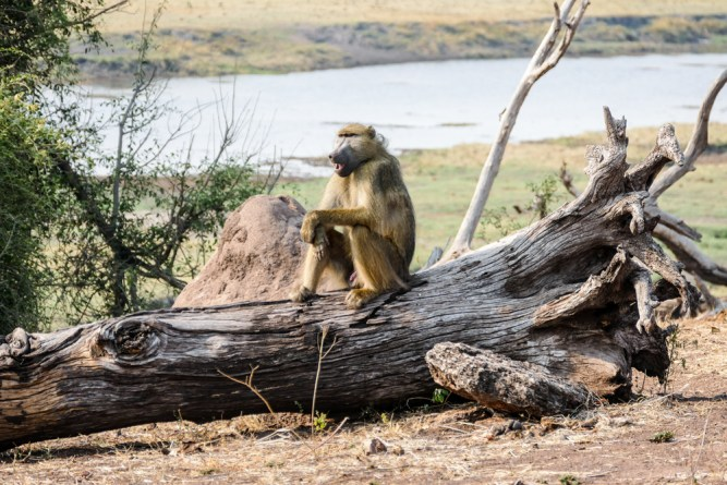 Baboon—Chobe