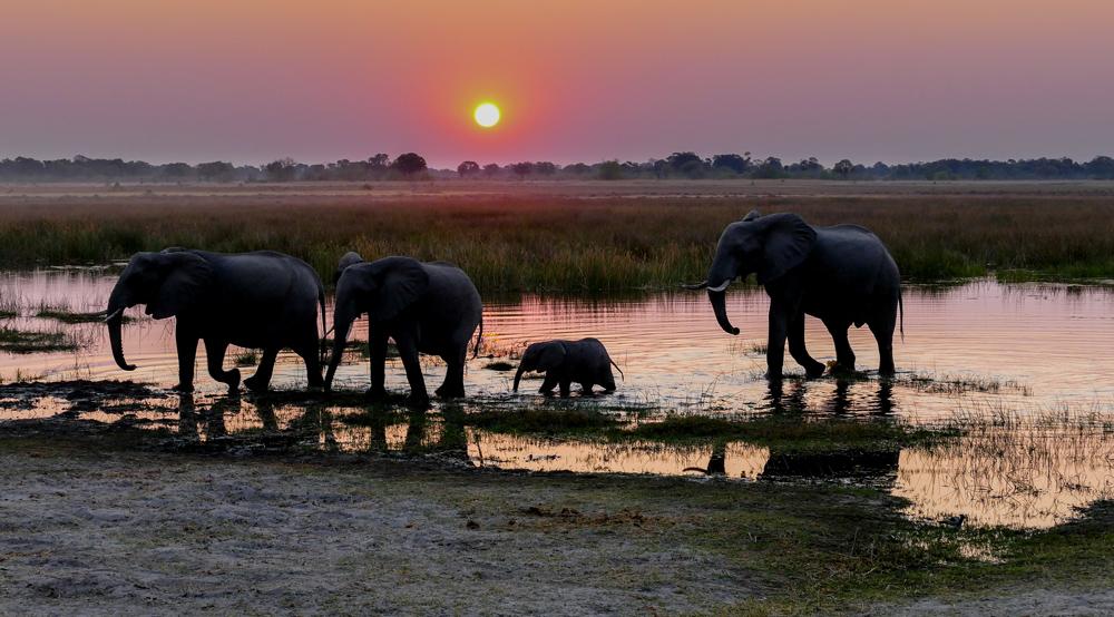 Elephant—Khwai