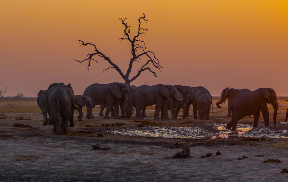 Elephants—Savuti