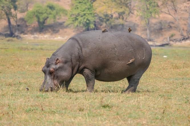 Hippo-oxpeckers—Chobe