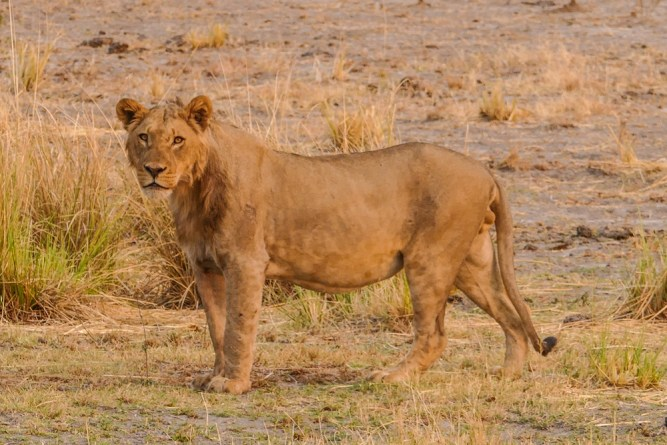 Lion-Encounter-III—Chobe