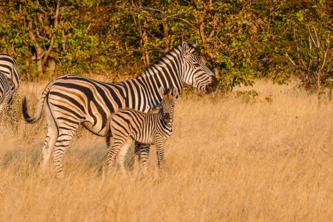 Zebra—Khwai