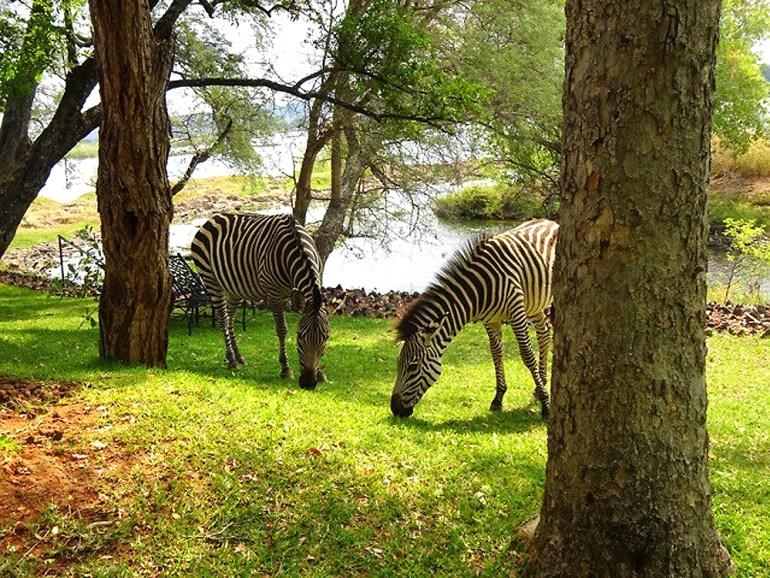 Zebras-in-from-of-bedroom-at-Vic-Falls-saadj