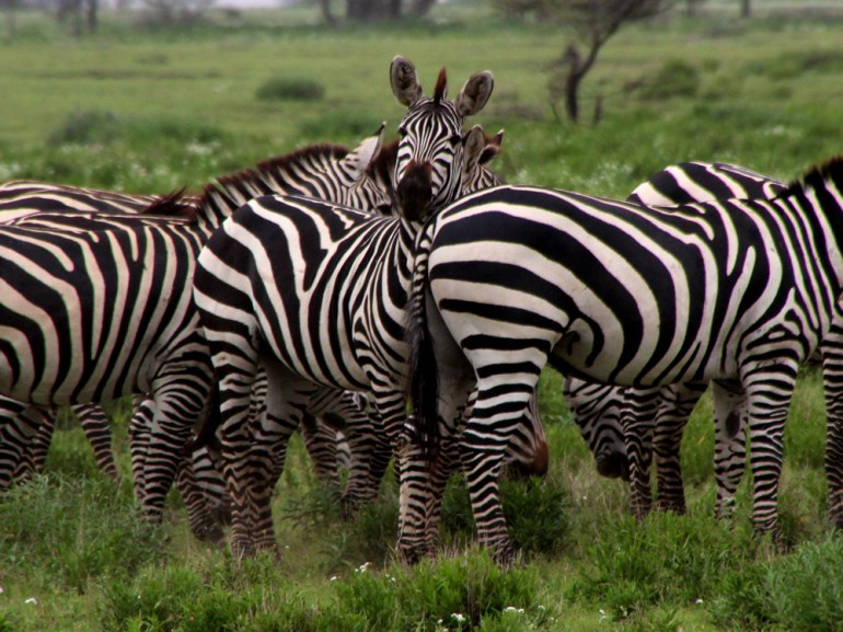 zebra in Ngorongoro Crater