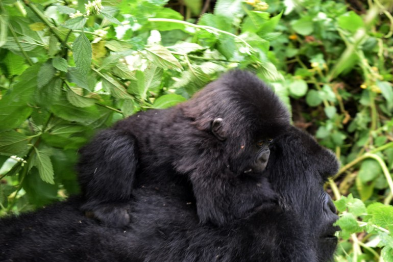 mountain gorilla mom and baby