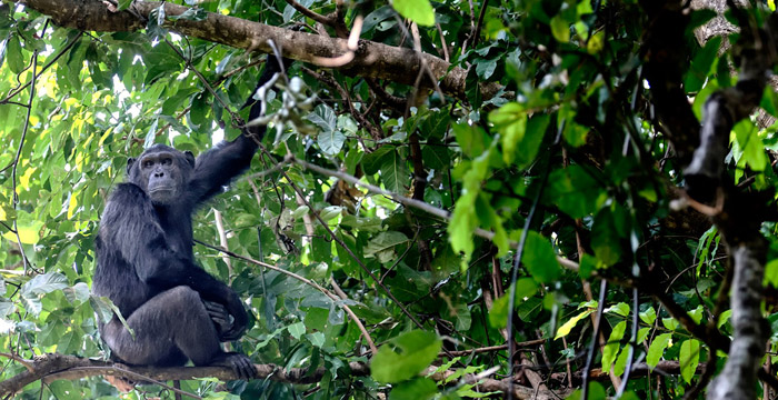 WTOwns-Chimpanzee-Mahale-Tanzania-iStock_000081638609_Large-saadj-crop-small
