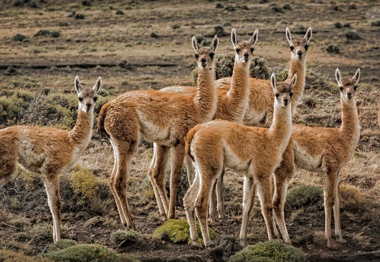 4-Guanaco--Torres-del-Paine-National-Park-crop
