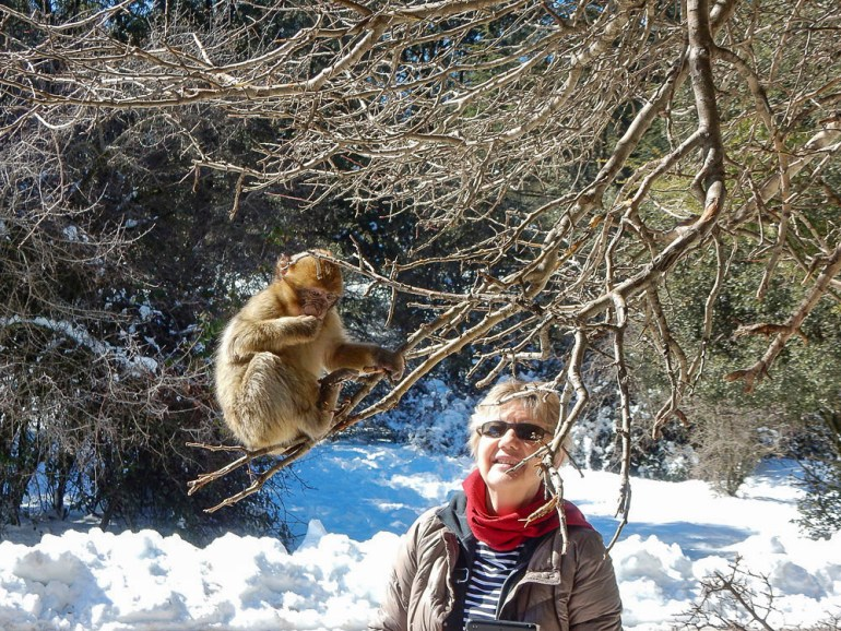 Barbary ape in a cedar forest in Ifrane