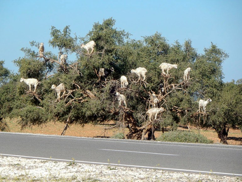 Goats in tree harvesting argan nuts