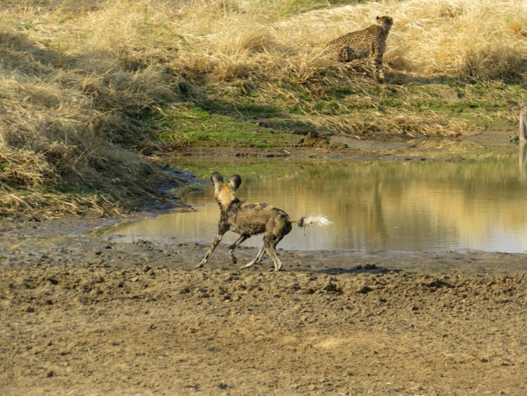 cheetah and wild dog watering hole Namibia