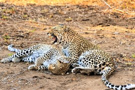 two leopards grooming and growl