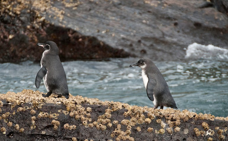 Galapagos penguins walking out of the water