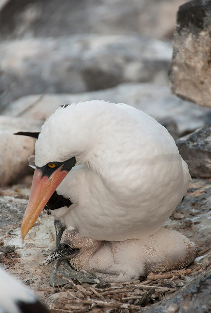 Nazca booby with her chick in the galapagos