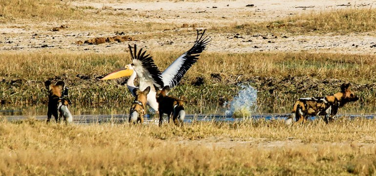 wild dogs and pelican zimbabwe