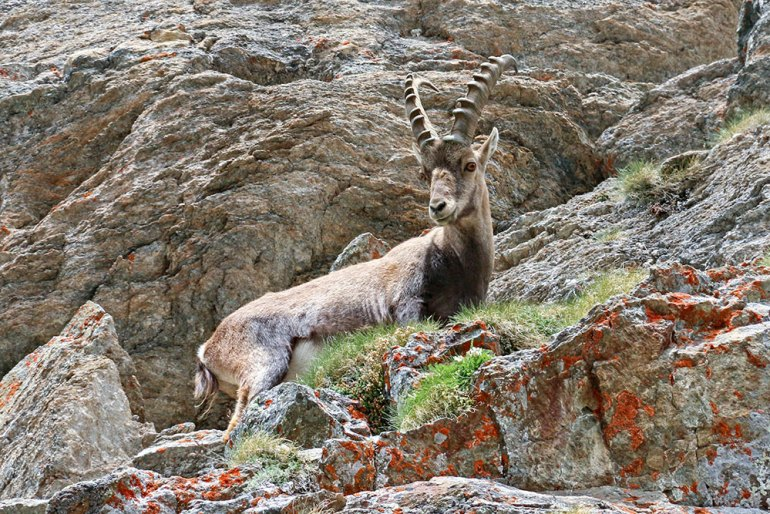 Ibex Near Fenetre de Champorcher Pass Italy