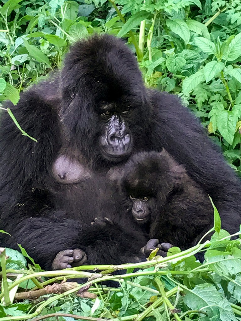 Gorilla female and yong in Rwanda