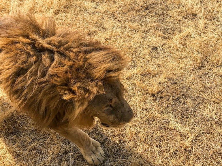 Large male lion walking near vehicle in the Serengeti Tanzania