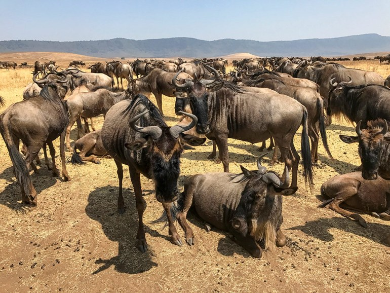 Herd of wildebeest in the Serengeti Tanzania