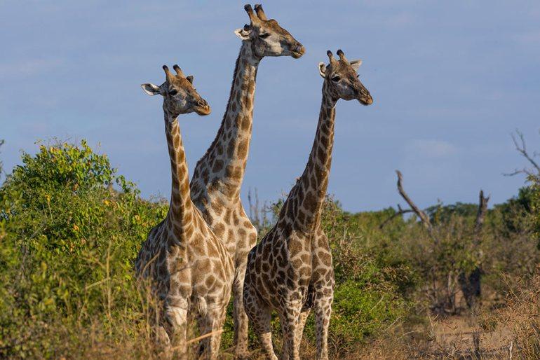 Giraffe threesome at Chobe National Park,Botswana