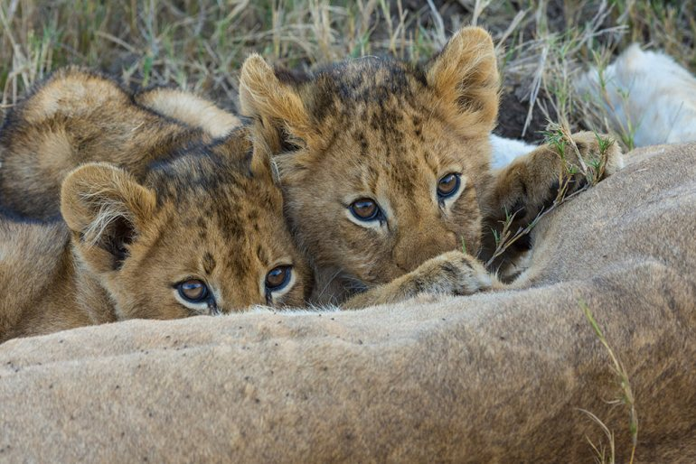 Two innocent cubs feeding at Londolozi Game Reserve, South Africa