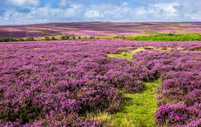 Yorkshire Moors Heather in England during Spring