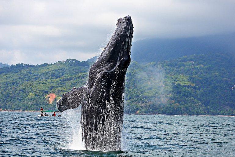 a humpback whale breaching vertically