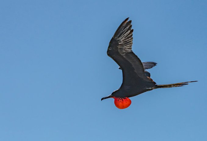 Frigatebird flying in Baja