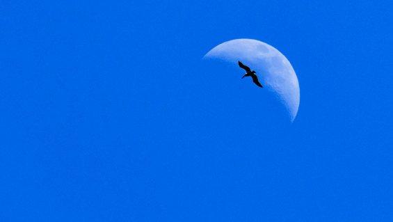 Pelican flying in front of moon, Baja.