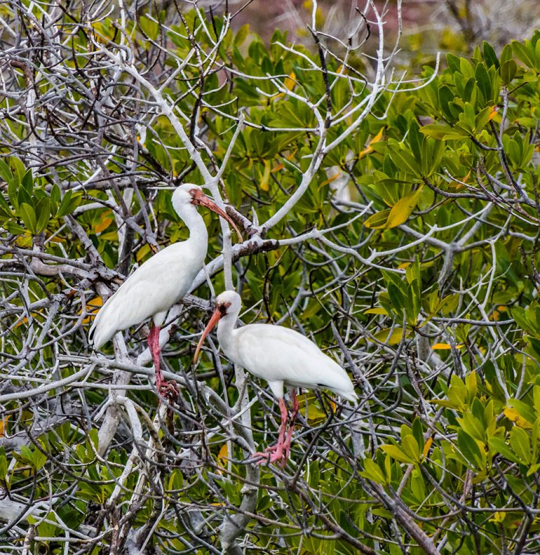 white ibis rest in the mangrove forest in Baja