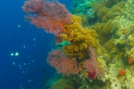 red coral in Palau