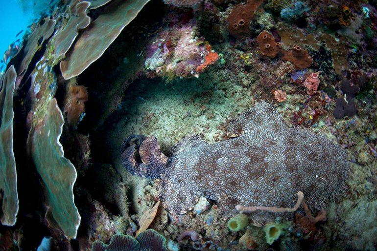 wobbegong-shark