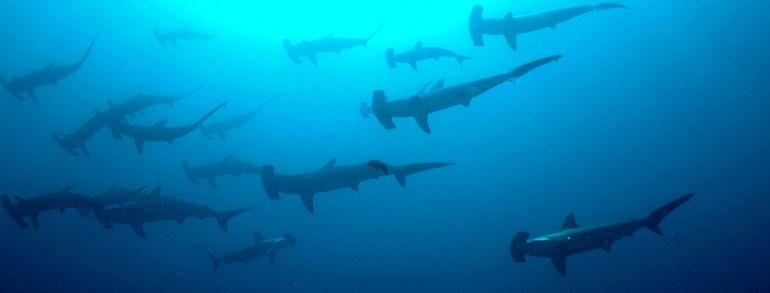hammerhead-shark