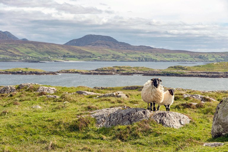 ireland-west-coast-sheep
