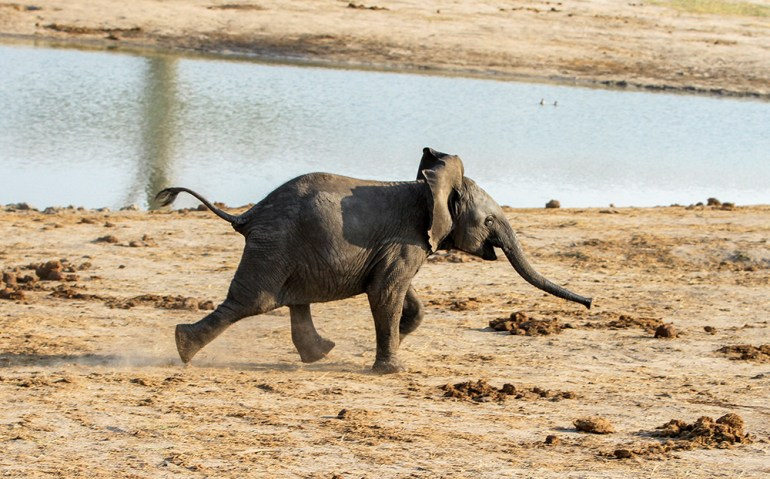 baby elephant running in Zimbabwe