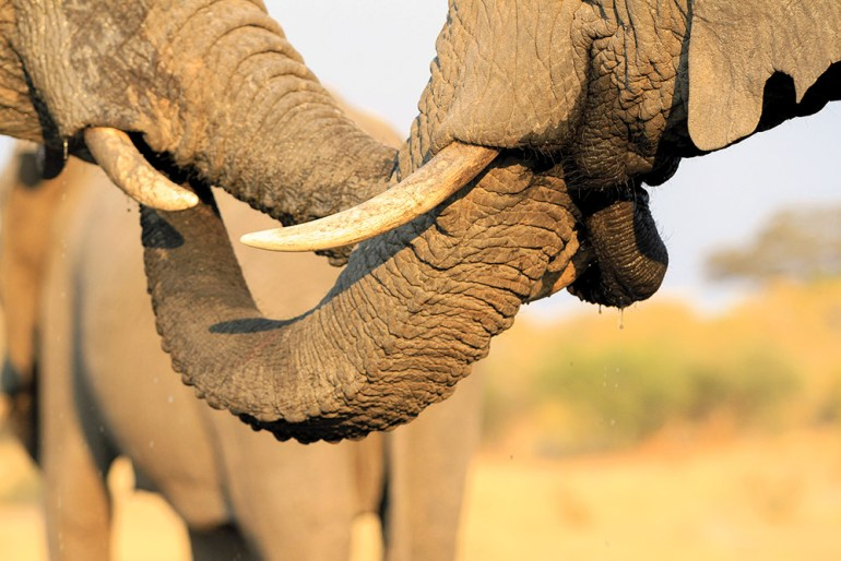 close-up image of elephant trunks in Zimbabwe