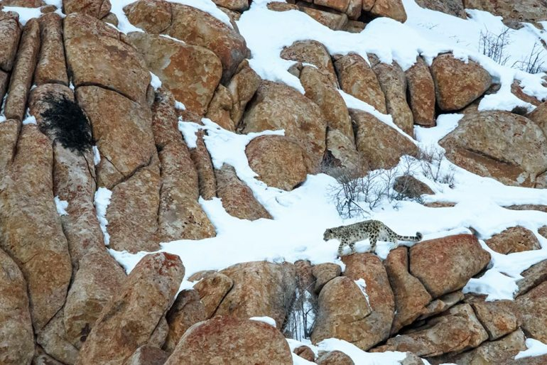 snow leopard india conservation