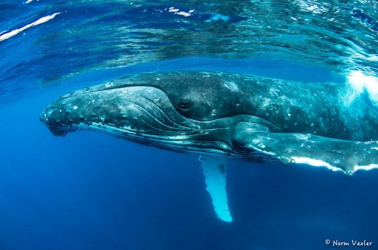 humpback whale eye in Tonga
