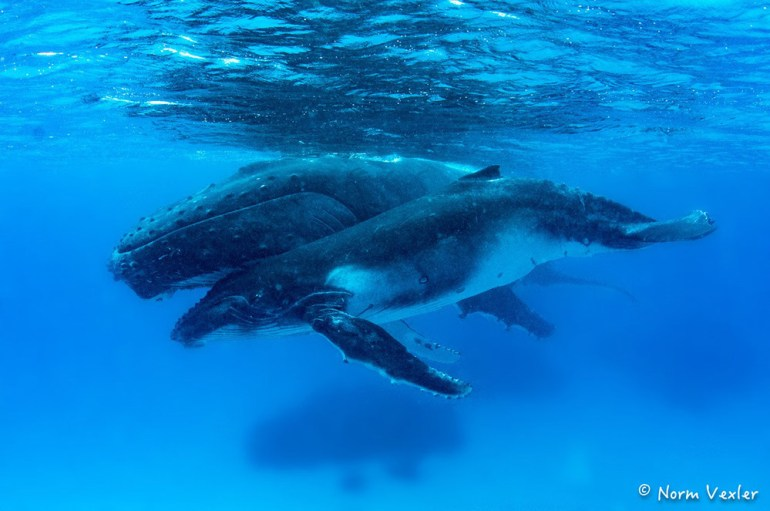 humpback whale mama and calf swimming in Tonga