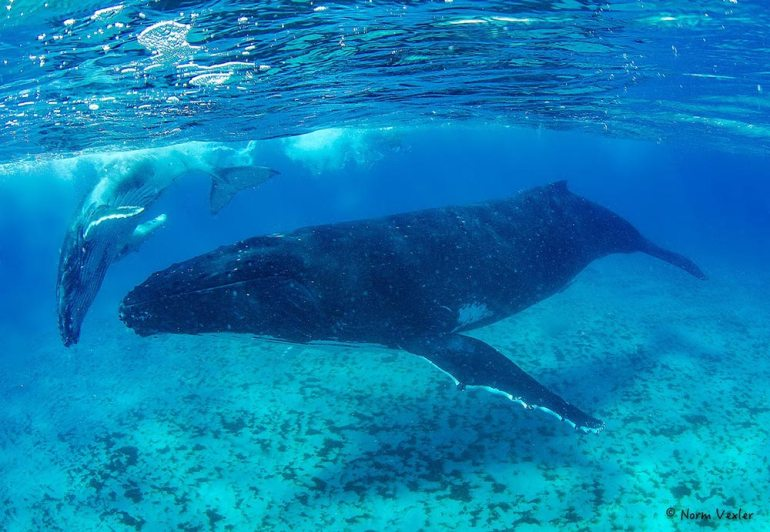 humpback whale mama and calf in Tonga