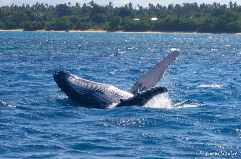 humpback whale pectoral fin in Tonga