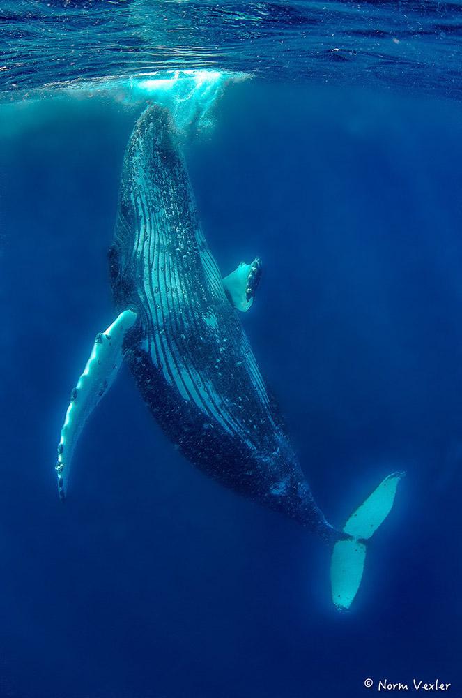vertical humpback whale in Tonga