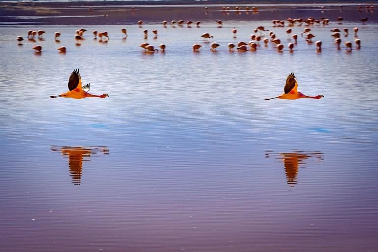 Flamingos in Bolivia's Salar de Uyuni
