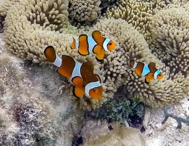 clown fish family raja ampat