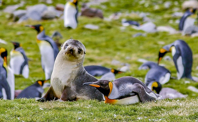 baby seal with penguins in Antarctica